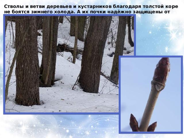 Стволы и ветви деревьев и кустарников благодаря толстой коре не боятся зимнего холода. А их почки надёжно защищены от морозов плотными кожистыми чешуями .