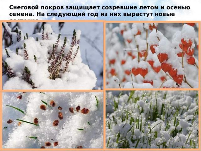 Снеговой покров защищает созревшие летом и осенью семена. На следующий год из них вырастут новые растения.