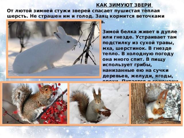 КАК ЗИМУЮТ ЗВЕРИ  От лютой зимней стужи зверей спасает пушистая тёплая шерсть. Не страшен им и голод. Заяц кормится веточками деревьев, гложет кору с их стволов. Зимой белка живет в дупле или гнезде. Устраивает там подстилку из сухой травы, мха, шерстинок. В гнезде тепло. В холодную погоду она много спит. В пищу использует грибы, нанизанные ею на сучки деревьев, желуди, ягоды, орехи. Питается и семенами еловых шишек.