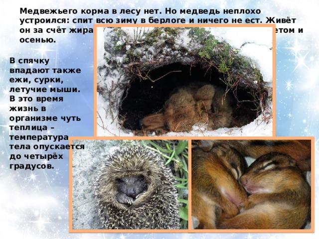 Медвежьего корма в лесу нет. Но медведь неплохо устроился: спит всю зиму в берлоге и ничего не ест. Живёт он за счёт жира, который накопил в своём теле ещё летом и осенью. В спячку впадают также ежи, сурки, летучие мыши. В это время жизнь в организме чуть теплица – температура тела опускается до четырёх градусов.