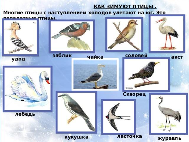 КАК ЗИМУЮТ ПТИЦЫ .  Многие птицы с наступлением холодов улетают на юг. Это перелетные птицы. зяблик соловей чайка аист удод Скворец лебедь ласточка кукушка журавль