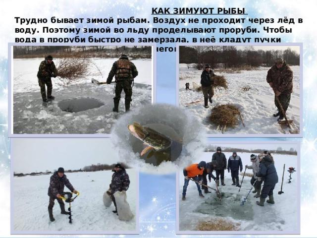 КАК ЗИМУЮТ РЫБЫ Трудно бывает зимой рыбам. Воздух не проходит через лёд в воду. Поэтому зимой во льду проделывают проруби. Чтобы вода в проруби быстро не замерзала, в неё кладут пучки соломы и сверху присыпают снегом.