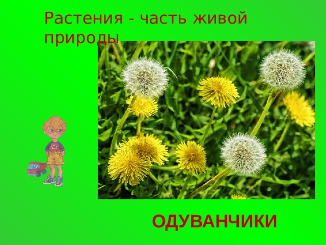 Растения - часть живой природы ОДУВАНЧИКИ