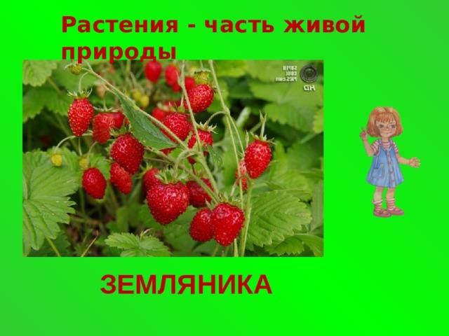 Растения - часть живой природы ЗЕМЛЯНИКА