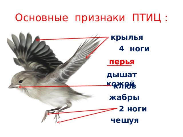 Основные признаки ПТИЦ : крылья 4 ноги перья перья дышат кожей клюв жабры 2 ноги чешуя
