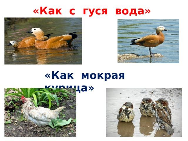 «Как с гуся вода» «Как мокрая курица»
