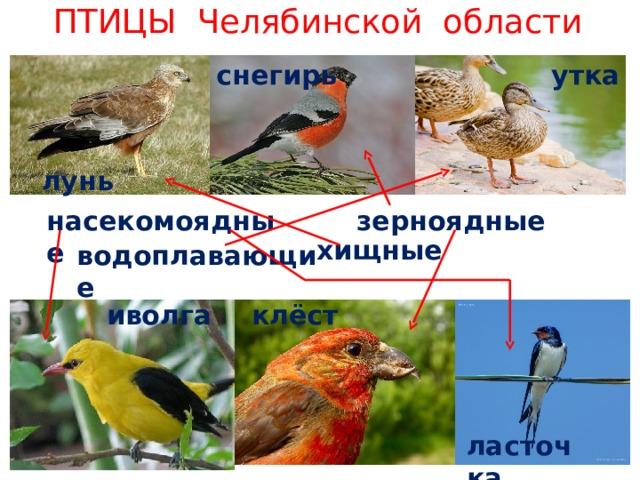 ПТИЦЫ Челябинской области утка снегирь лунь насекомоядные зерноядные хищные водоплавающие клёст иволга ласточка