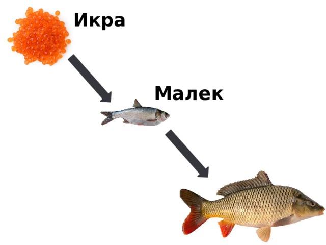 Икра Малек
