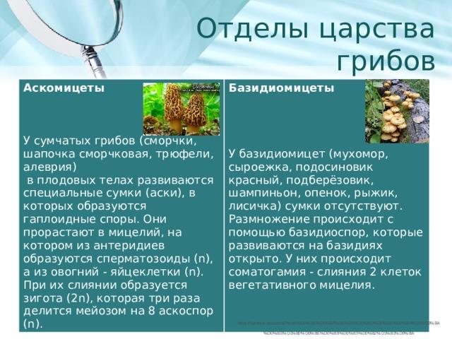 Отделы царства грибов Аскомицеты Базидиомицеты       У сумчатых грибов (сморчки, шапочка сморчковая, трюфели, алеврия)  У базидиомицет (мухомор, сыроежка, подосиновик красный, подберёзовик, шампиньон, опенок, рыжик, лисичка) сумки отсутствуют. Размножение происходит с помощью базидиоспор, которые развиваются на базидиях открыто. У них происходит соматогамия - слияния 2 клеток вегетативного мицелия.  в плодовых телах развиваются специальные сумки (аски), в которых образуются гаплоидные споры. Они прорастают в мицелий, на котором из антеридиев образуются сперматозоиды (n), а из овогний - яйцеклетки (n). При их слиянии образуется зигота (2n), которая три раза делится мейозом на 8 аскоспор (n). https://yandex.ru/search/?text=%D0%BE%D0%BF%D0%B5%D0%BD%D0%BE%D0%BA%20%D0%BA%D0%BE%D1%80%D0%BE%D0%BB%D0%B5%D0%B2%D1%81%D0%BA%D0%B8%D0%B9&clid=2411726&lr=65