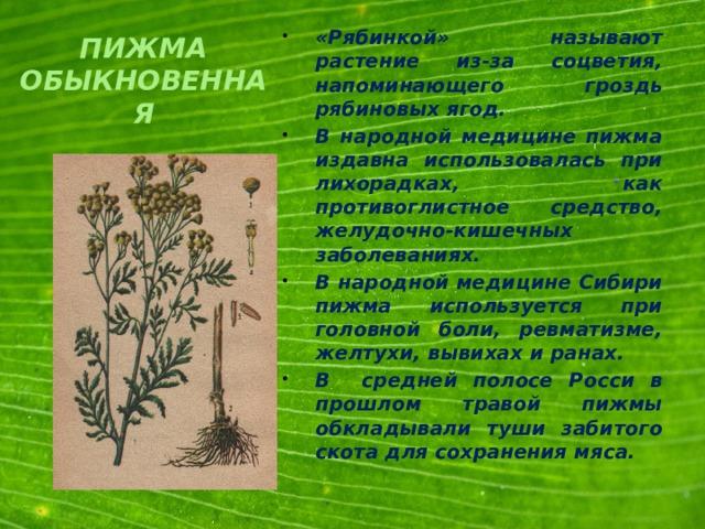 «Рябинкой» называют растение из-за соцветия, напоминающего гроздь рябиновых ягод. В народной медицине пижма издавна использовалась при лихорадках, как противоглистное средство, желудочно-кишечных заболеваниях. В народной медицине Сибири пижма используется при головной боли, ревматизме, желтухи, вывихах и ранах. В средней полосе Росси в прошлом травой пижмы обкладывали туши забитого скота для сохранения мяса.