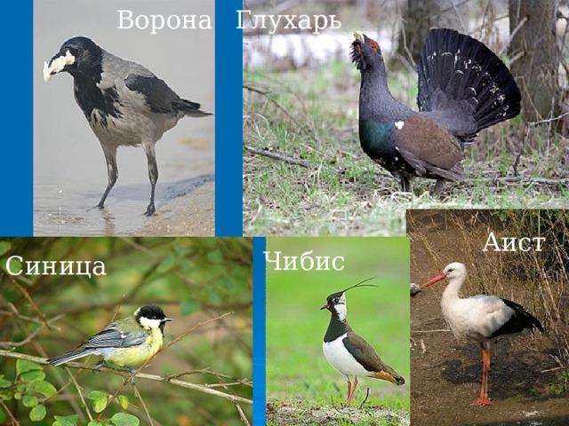Глухарь Ворона Аист Чибис Синица