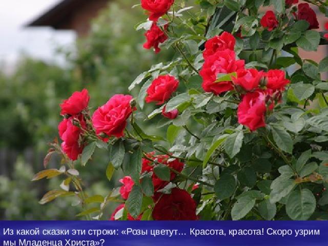 Из какой сказки эти строки : «Розы цветут… Красота, красота! Скоро узрим мы Младенца Христа» ?