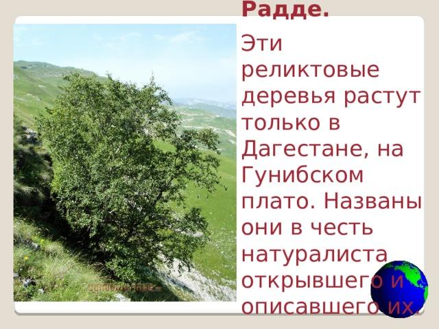 Берёза Радде. Эти реликтовые деревья растут только в Дагестане, на Гунибском плато. Названы они в честь натуралиста открывшего и описавшего их.