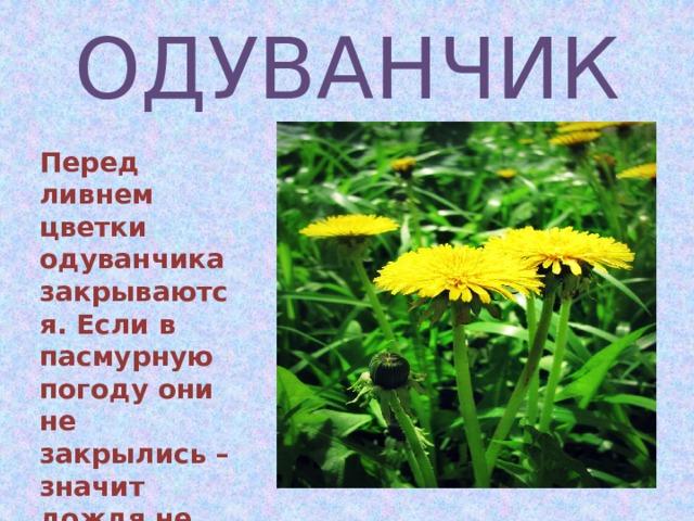 ОДУВАНЧИК Перед ливнем цветки одуванчика закрываются. Если в пасмурную погоду они не закрылись – значит дождя не будет