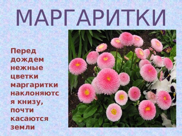 МАРГАРИТКИ  Перед дождем нежные цветки маргаритки наклоняются книзу, почти касаются земли
