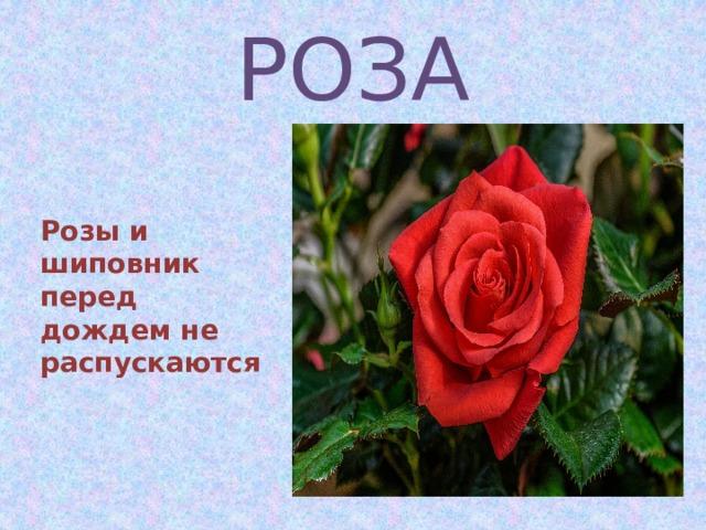 РОЗА   Розы и шиповник перед дождем не распускаются