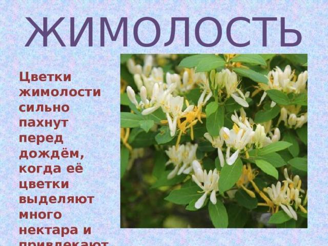 ЖИМОЛОСТЬ Цветки жимолости сильно пахнут перед дождём, когда её цветки выделяют много нектара и привлекают насекомых для опыления
