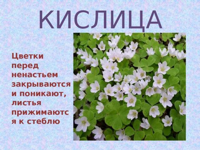 КИСЛИЦА  Цветки перед ненастьем закрываются и поникают, листья прижимаются к стеблю