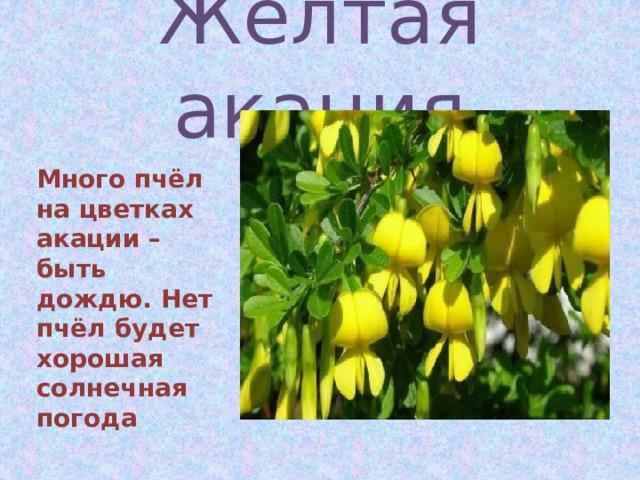 Жёлтая акация  Много пчёл на цветках акации – быть дождю. Нет пчёл будет хорошая солнечная погода