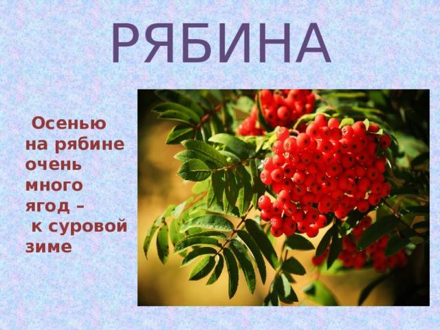 РЯБИНА   Осенью на рябине очень много ягод –  к суровой зиме Ж