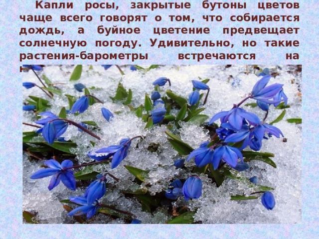 Капли росы, закрытые бутоны цветов чаще всего говорят о том, что собирается дождь, а буйное цветение предвещает солнечную погоду.  Удивительно, но такие растения-барометры встречаются на каждом шагу.