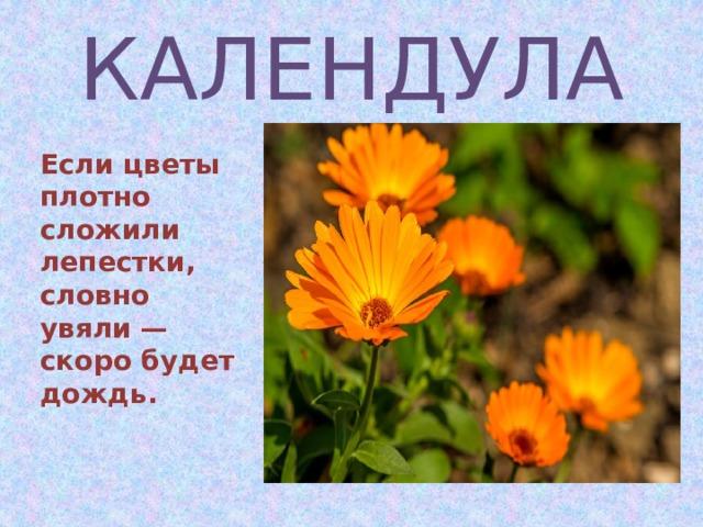КАЛЕНДУЛА Если цветы плотно сложили лепестки, словно увяли — скоро будет дождь.