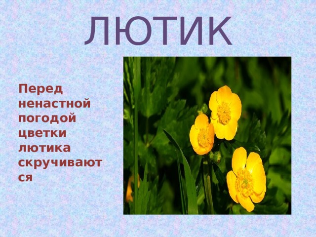ЛЮТИК  Перед ненастной погодой цветки лютика скручиваются