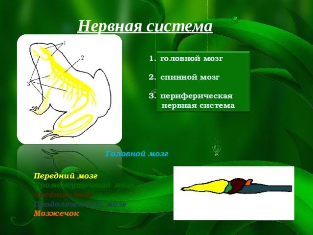 Нервная система головной мозг  спинной мозг  периферическая  нервная система Головной мозг Передний мозг Промежуточный мозг Средний мозг Продолговатый мозг Мозжечок