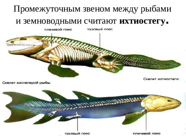Промежуточным звеном между рыбами иземноводными считают ихтиостегу .