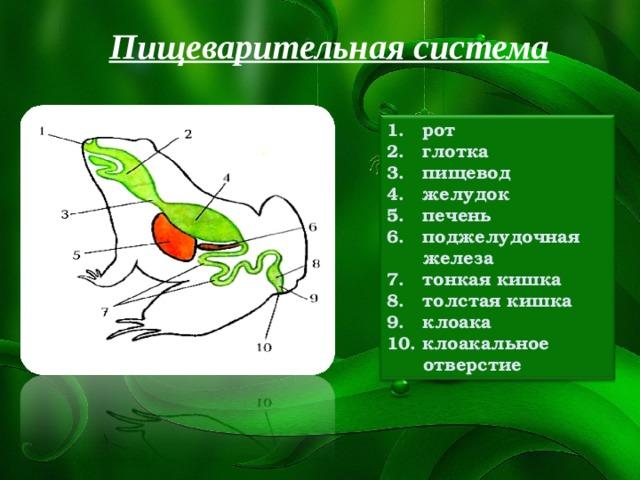 Пищеварительная система 1. рот  глотка  пищевод  желудок  печень  поджелудочная  железа  тонкая кишка  толстая кишка  клоака 10. клоакальное  отверстие