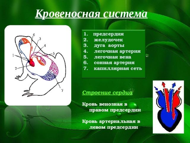 Кровеносная система 1. предсердия  желудочек  дуга аорты  легочная артерия  легочная вена  сонная артерия  капиллярная сеть  Строение сердца  Кровь венозная в правом предсердии  Кровь артериальная в левом предсердии