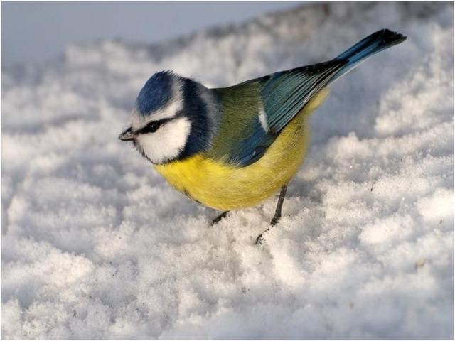 Оперение синицы яркое и красивое, кажется, что птичка нарядилась в желтую блузку с черным галстуком и в зеленый плащик, а голову украсила темной шапочкой. Она легко прыгает по веткам и с помощью острых и цепких коготков ловко лазает по стволам деревьев. Когда наступают холода, синица находит припасенного летом жучка и съедает его.