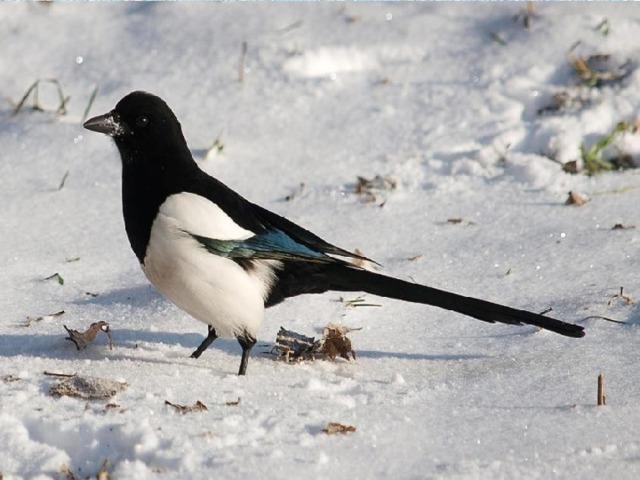 Любопытством этой птицы  Нам нельзя не восхититься!  Что на солнце заблестело,  Стащит ловко и умело.  Ну а новости так те,  Нам