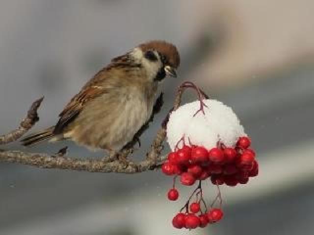 Воробей – маленькая, неунывающая, бойкая птичка. Несмотря на кажущуюся невнимательность и суетливость, эти птички очень умны и быстро привыкают к людям, понимая, что именно рядом с человеком можно раздобыть корм. Люди зачастую подкармливают диких птиц, особенно зимой, и воробьи об этом знают. Будучи всеядными, эти птички едят все, что люди сыплют им в кормушку или просто выбрасывают.