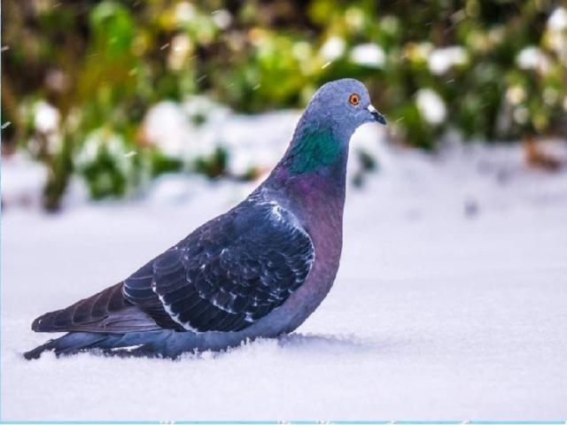В ыносливая птица, Усердно ищет корм, И крошки подбирает, Воркуя под окном!