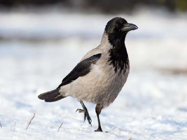 Эта птица всем знакома -  Важно ходит возле дома  Кар-Кар-Кар вдруг закричит,  И спокойно улетит.  Очень хитрая персона,  А зовут её …