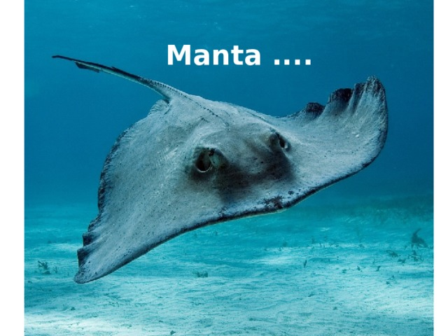 Manta ....