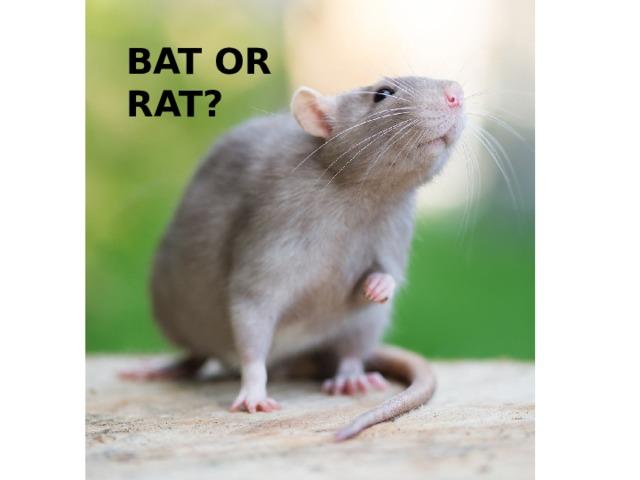 BAT OR RAT?