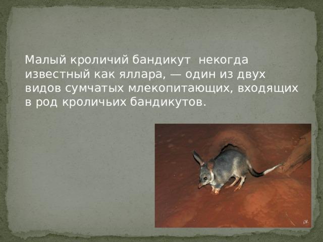Малый кроличий бандикут некогда известный как яллара, — один из двух видов сумчатых млекопитающих, входящих в род кроличьих бандикутов.