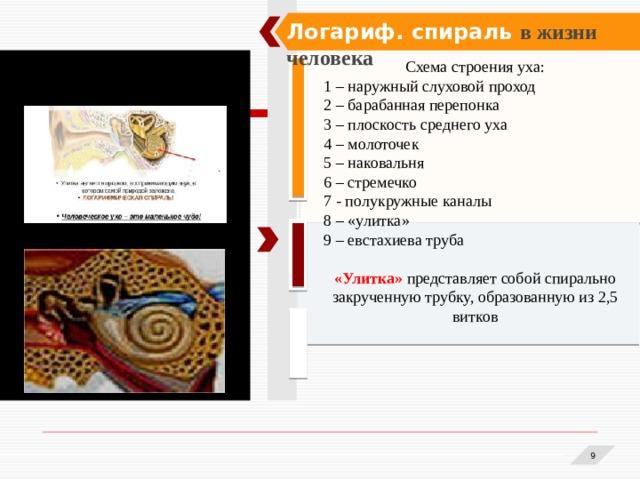 Логариф. спираль в жизни человека Схема строения уха: 1 – наружный слуховой проход 2 – барабанная перепонка 3 – плоскость среднего уха 4 – молоточек 5 – наковальня 6 – стремечко 7 - полукружные каналы 8 – «улитка» 9 – евстахиева труба «Улитка»  представляет собой спирально закрученную трубку, образованную из 2,5 витков  1 1