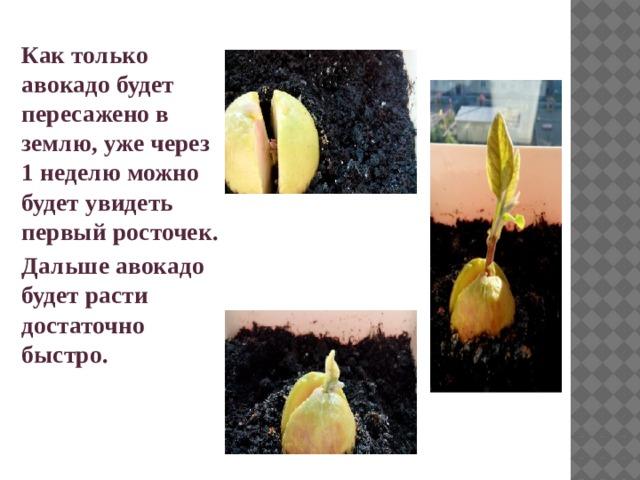 Как только авокадо будет пересажено в землю, уже через 1 неделю можно будет увидеть первый росточек. Дальше авокадо будет расти достаточно быстро.