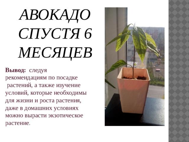 АВОКАДО СПУСТЯ 6 МЕСЯЦЕВ Вывод:  следуя рекомендациям по посадке растений, а также изучение условий, которые необходимы для жизни и роста растения, даже в домашних условиях можно вырасти экзотическое растение .