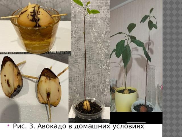 Рис. 3. Авокадо в домашних условиях