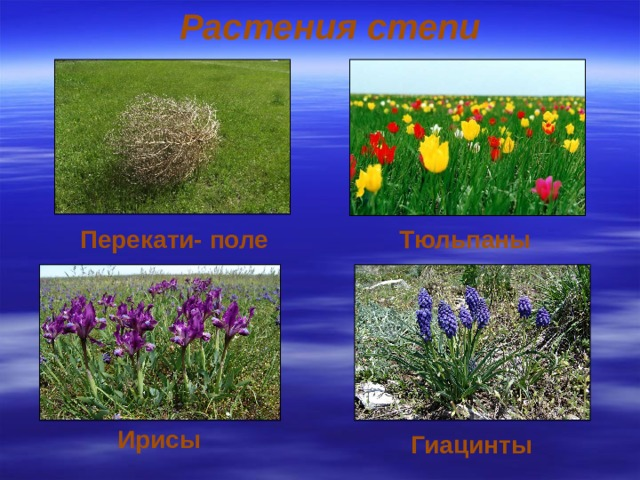 Растения степи Перекати- поле Тюльпаны Ирисы Гиацинты