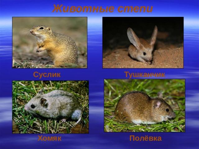 Животные степи Суслик  Тушканчик Хомяк Полёвка