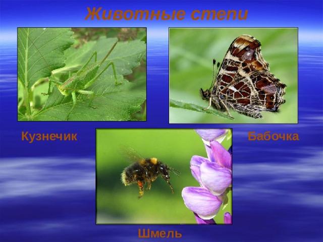 Животные степи Кузнечик  Бабочка Шмель