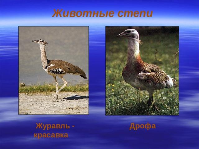 Животные степи Журавль - красавка  Дрофа