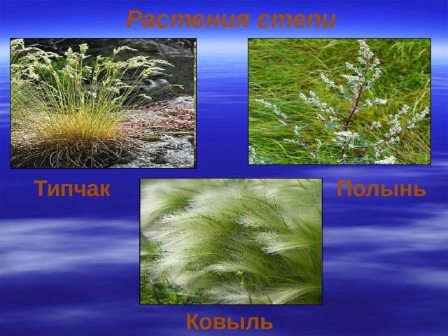 Растения степи Типчак  Полынь  Ковыль