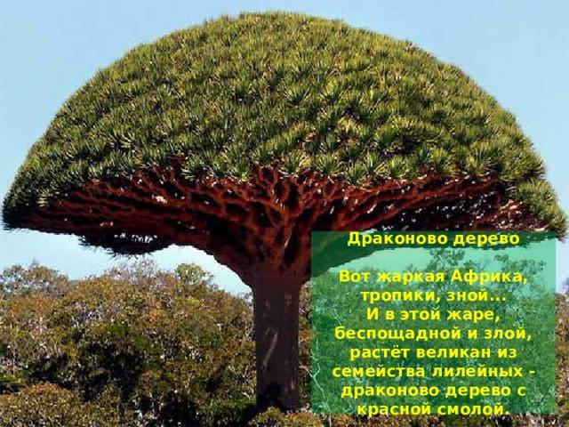 Драконово дерево   Вот жаркая Африка, тропики, зной...  И в этой жаре, беспощадной и злой,  растёт великан из семейства лилейных -  драконово дерево с красной смолой.