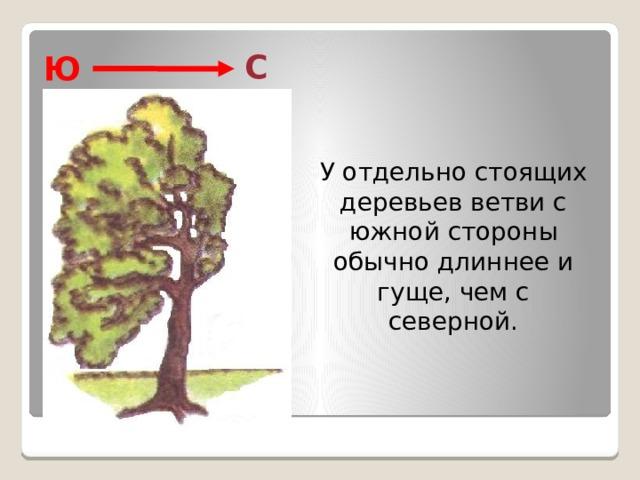 С Ю  У отдельно стоящих деревьев ветви с южной стороны обычно длиннее и гуще, чем с северной.
